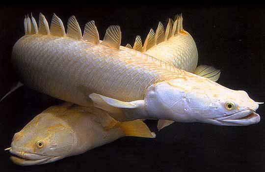 polypterus-7495714