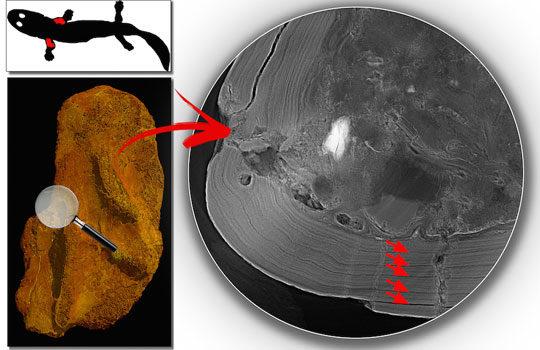 acanthostega-layers-8594115