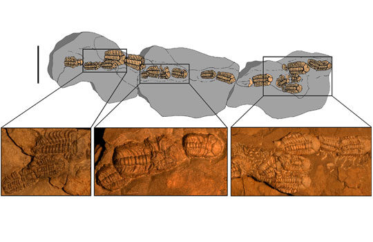 trimerocephalus-3586652