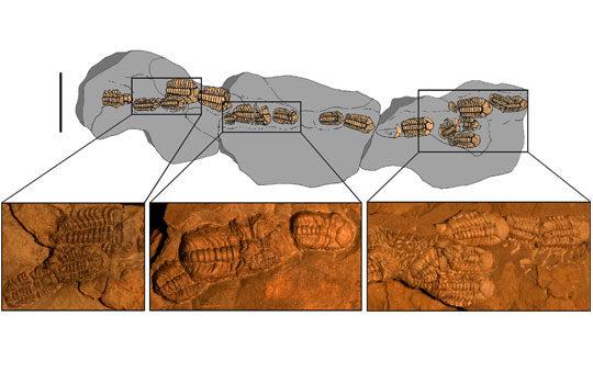 trimerocephalus-6076876