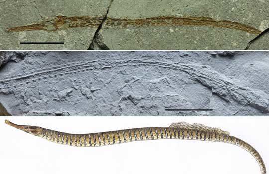 syngnathidae11-9160580