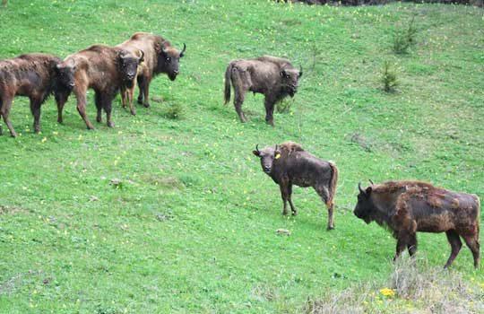 bison-8311775