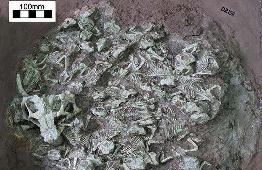 psittacosaurus-nest-8065792