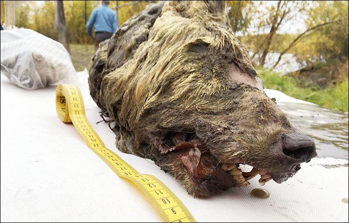 pleistocene-wolf-head