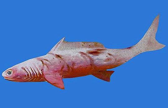 gogoselachus-4333319