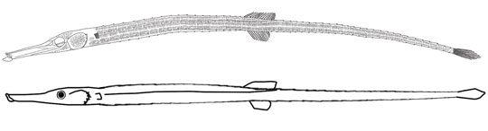 syngnathidae2-6807935