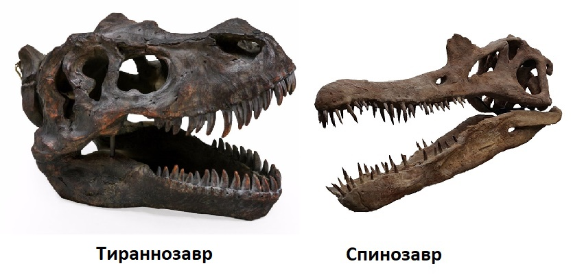 Сравнение черепов Спинозавра и Тираннозавра