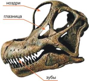 Череп брахиозавра