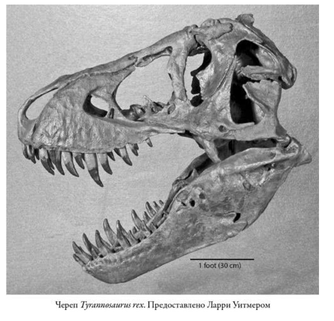 Зубы тираннозавра имели длину 30 см