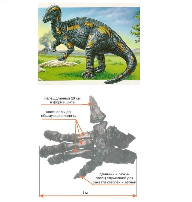 Коготь игуанодона представлял собой шип