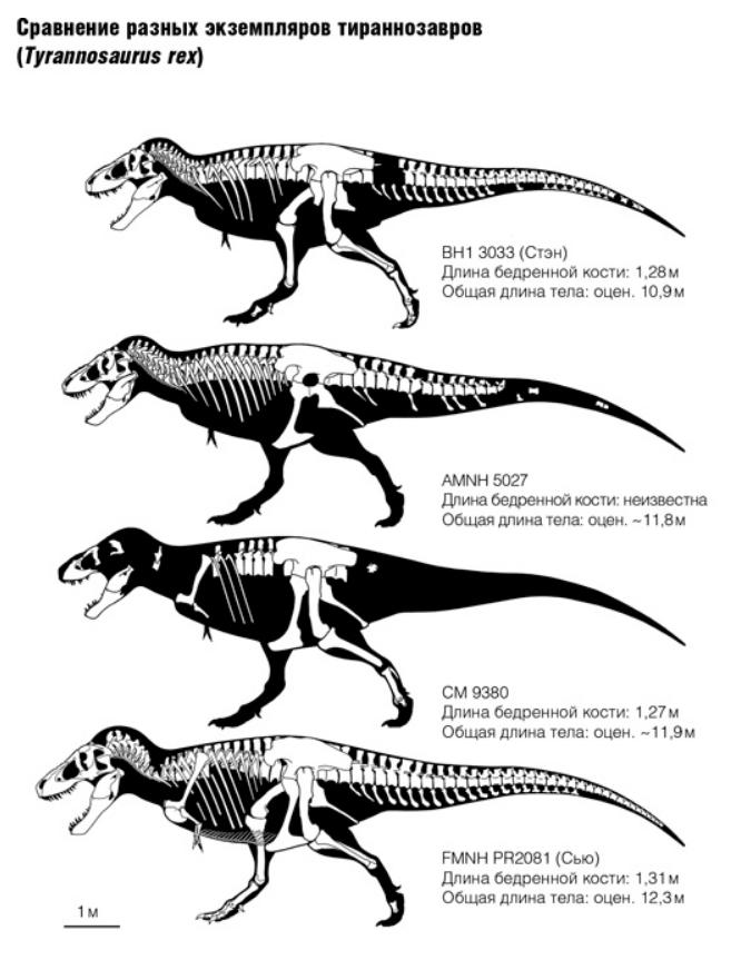 Найденные скелеты тираннозавров
