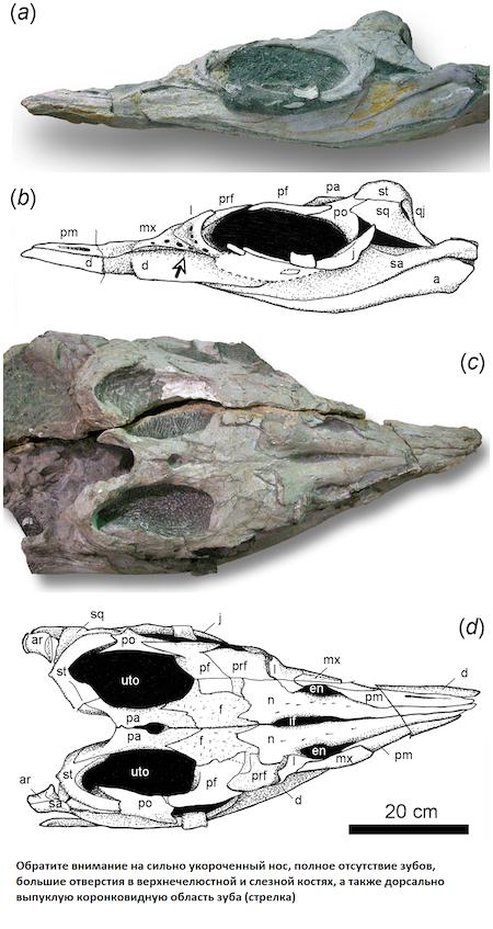Строение черепа Шастазавра