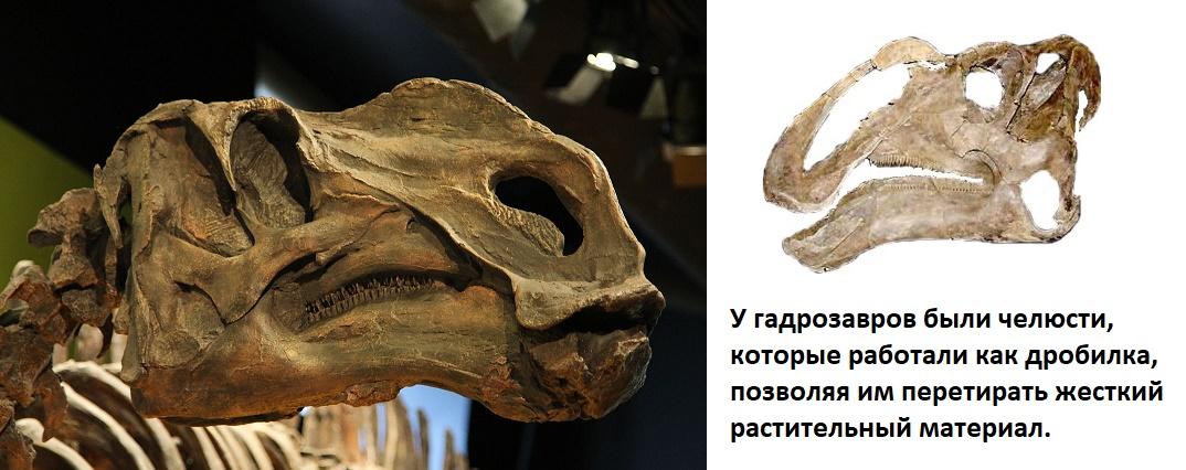 череп гадрзавра