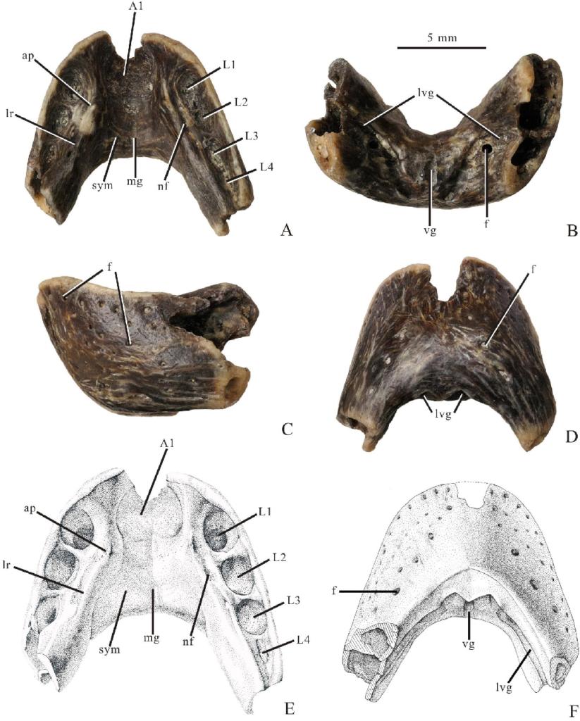 Челюсть caenagnathasia