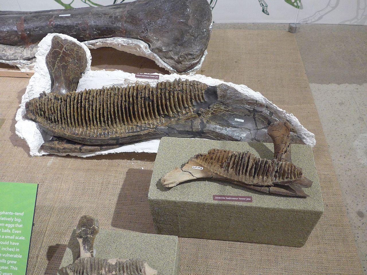 челюсти гадрозавра