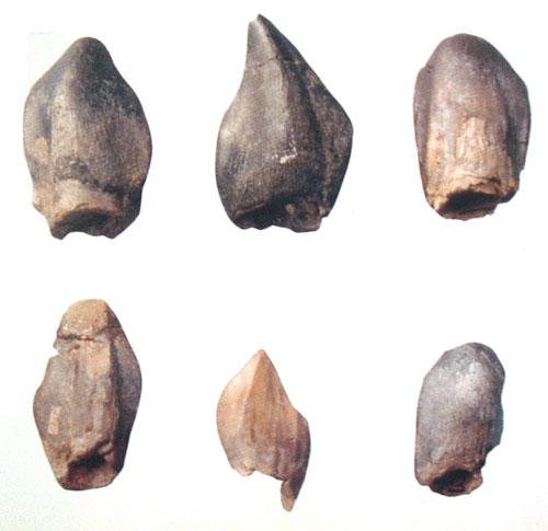 Зубы динозавров в виде граблей