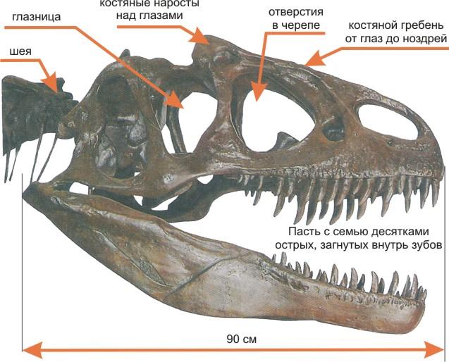 Строение черепа аллозавра