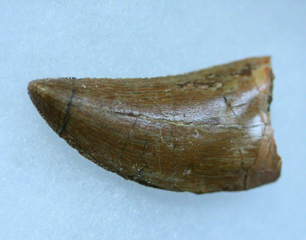 Зуб кархоодонтозавра