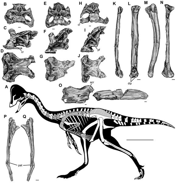 Caenagnatasia скелет