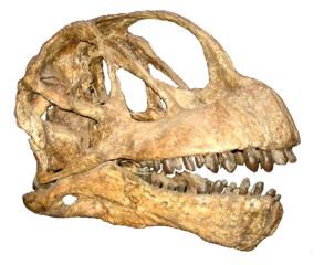 Череп камаразавра