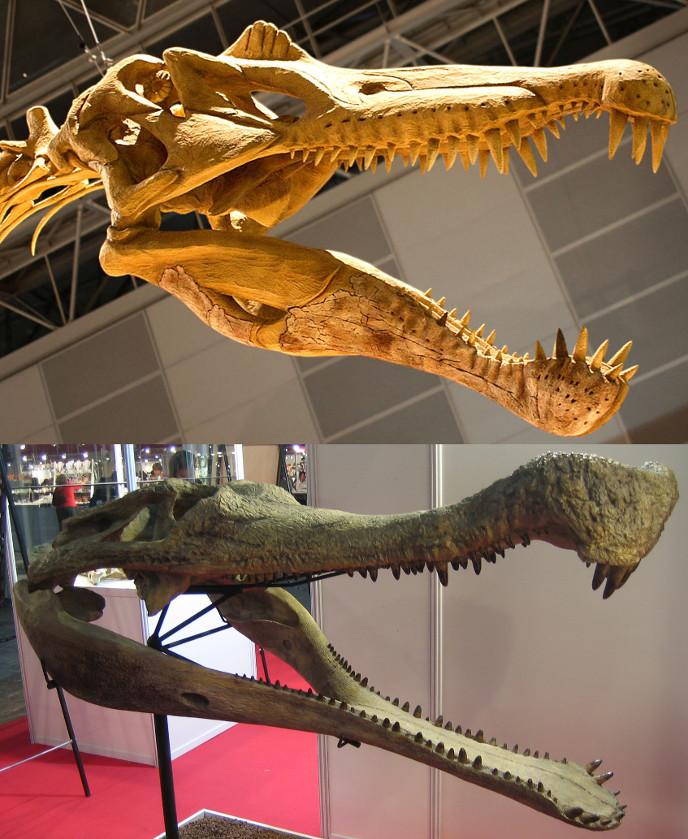 Сравнение строения челюстей саркозуха и спинозавра
