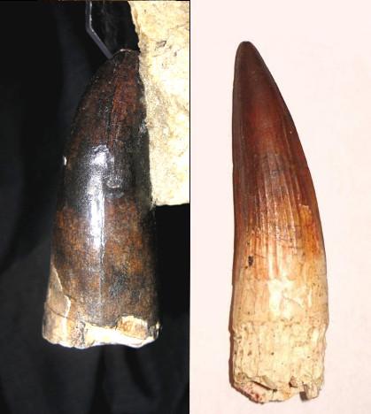Сравнение зубов саркозуха и спинозавра