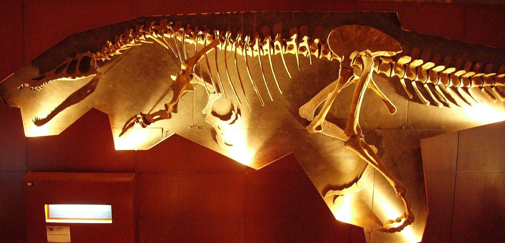Скелет барионикса в музее