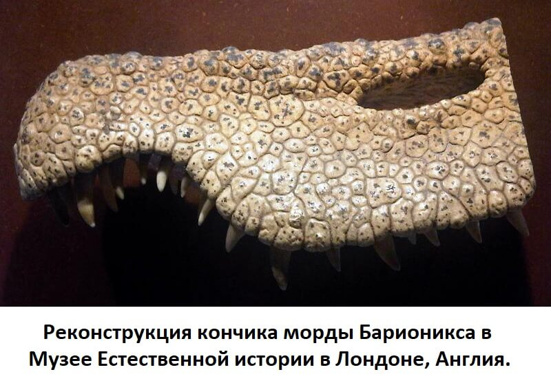 Реконструкция кончика морды барионикса