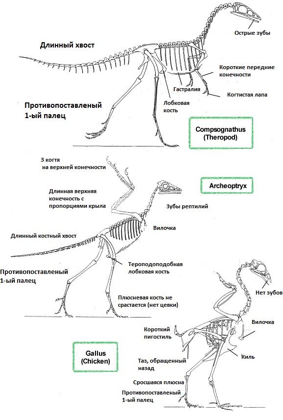 Признаки динозавров и птиц у археоптерикса