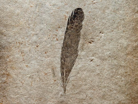 Перо археоптерикса