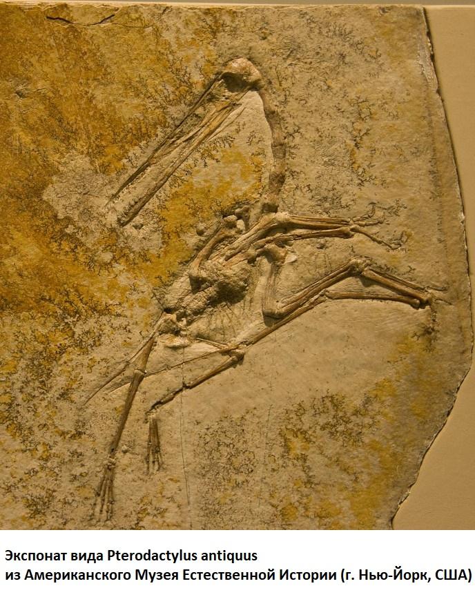 скелет птеродактиля в Американском музее Естественной истории