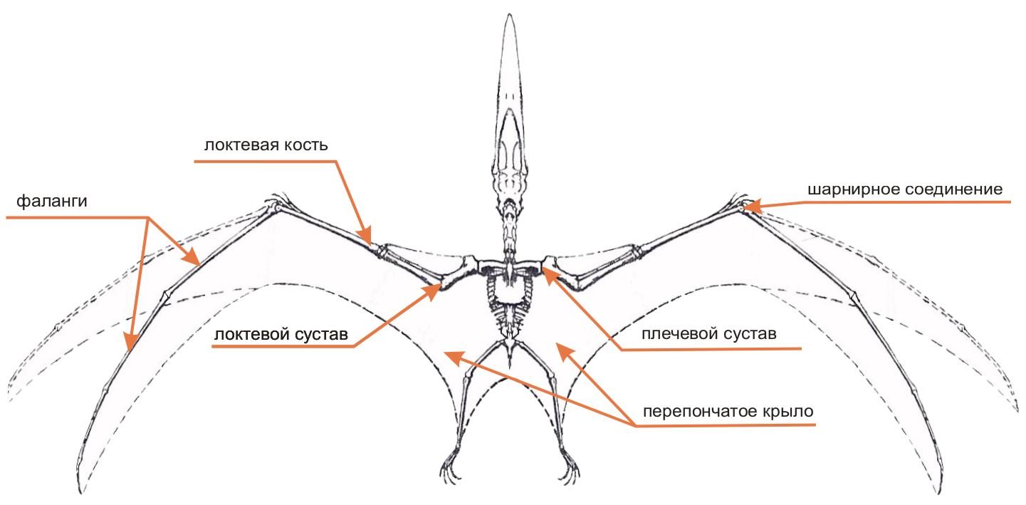 Строение крыльев птеродактиля