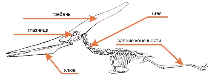 Строение тела птеродактиля