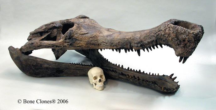 Сравнение размера черепов человека и саркозуха
