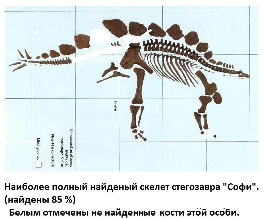 Скелет стегозавра Софи