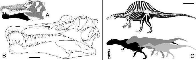 Строение тела и черепа спинозавра