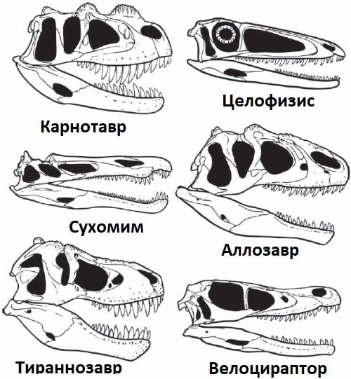 Сравнение черепов теропод