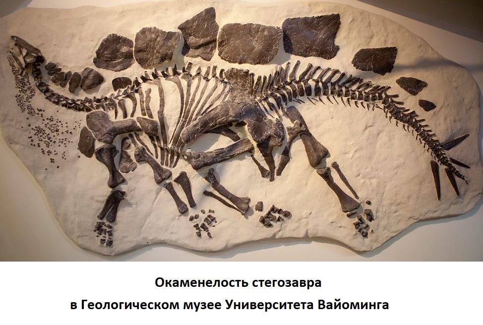 Скелет стегозавра в Музее Университета Вайоминга