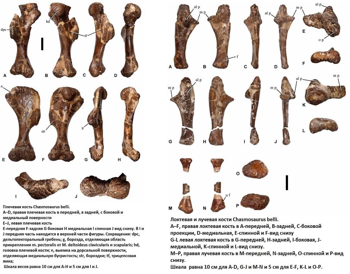 Строение верхней конечености хасмозавра