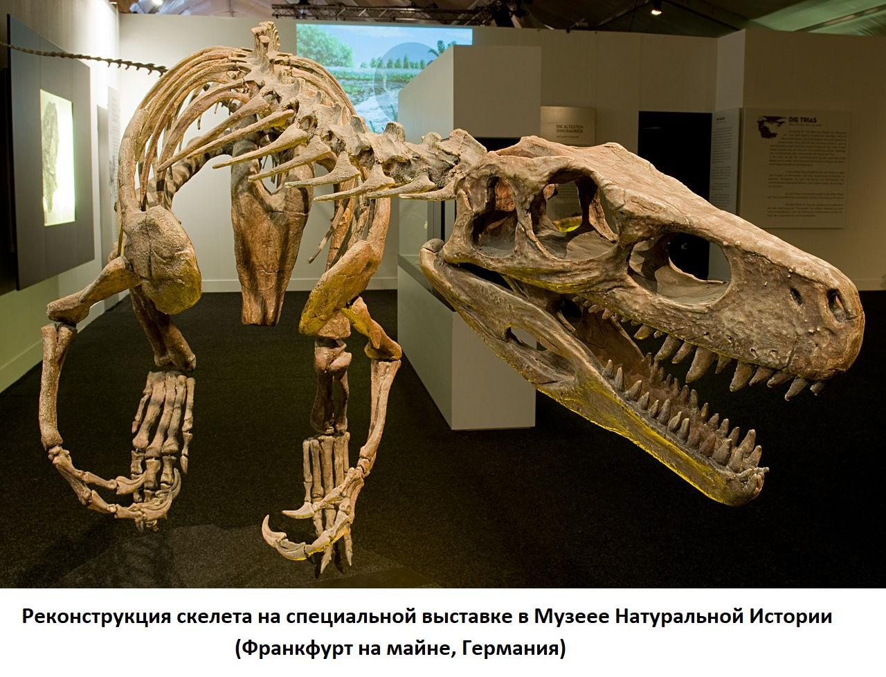 Реконструкция скелета герреразавра в музее натуральной истории