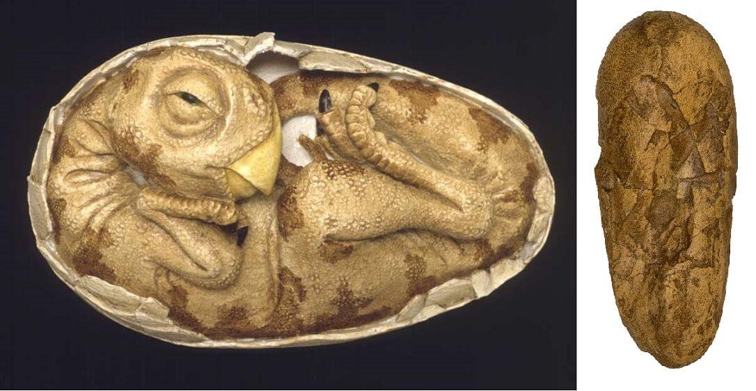 Яйцо и зародыш овираптора
