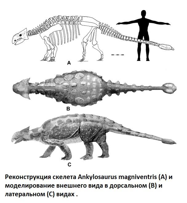 Строение скелета анкилозавра