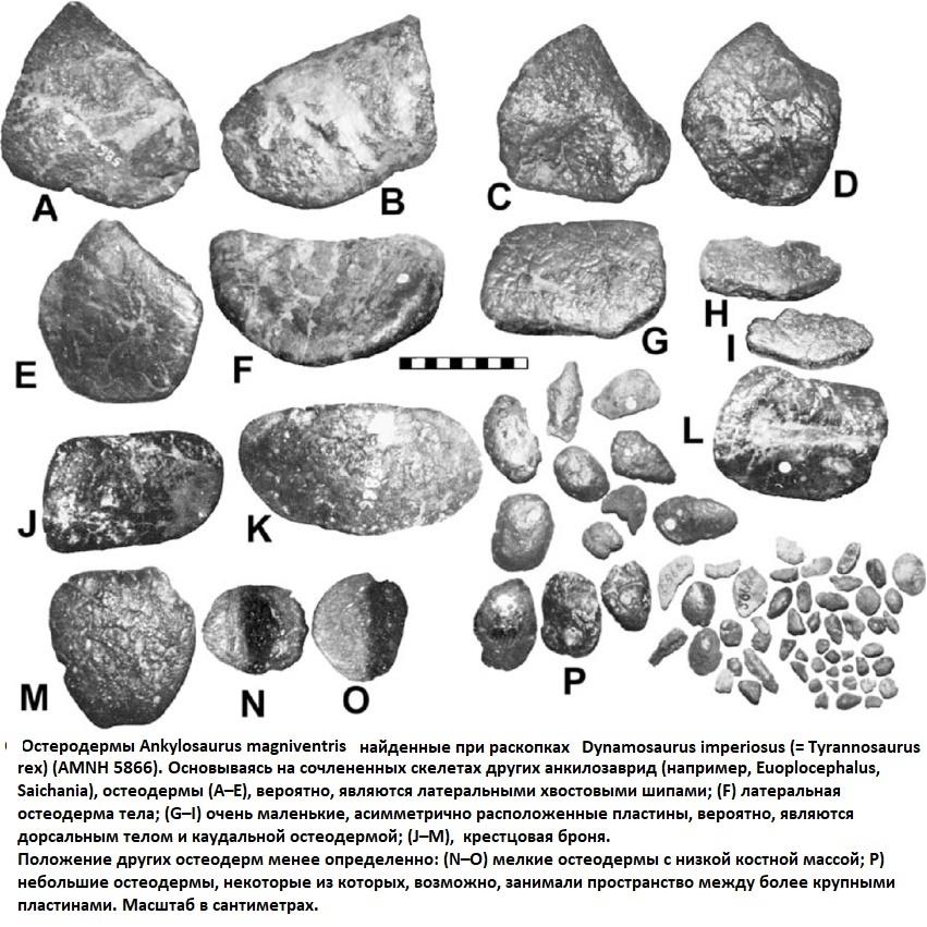 Остеодермы анкилозавра