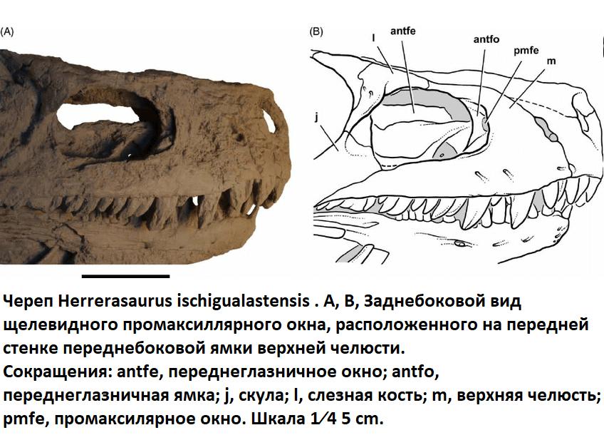 Особенности строения черепа герреразавра