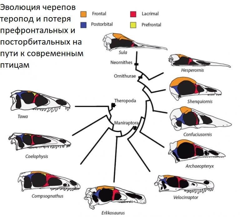 Эволюция черепов тероподов