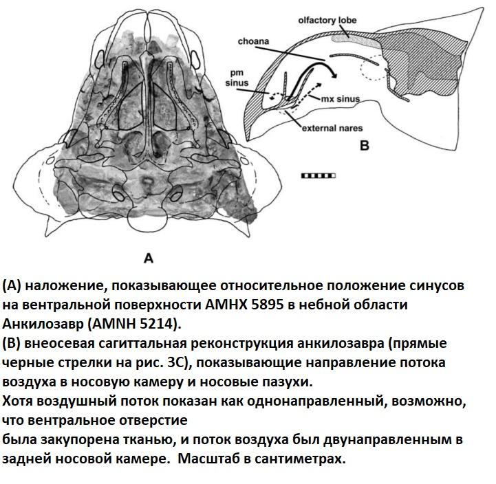 Анатомия синусов и носовых пазух анкилозавра