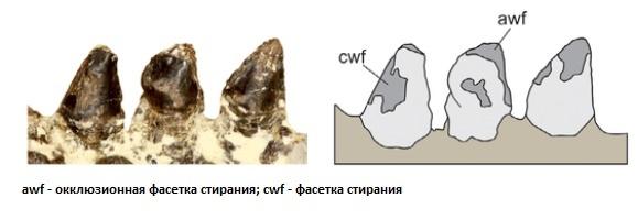Зубы анкилозавра
