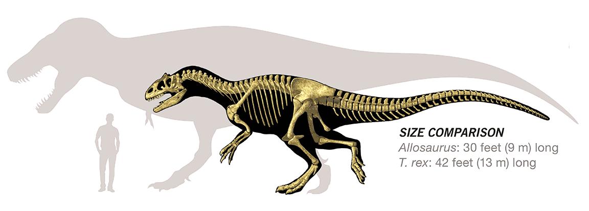 Сравнение размеров Тираннозавра и аллозавра