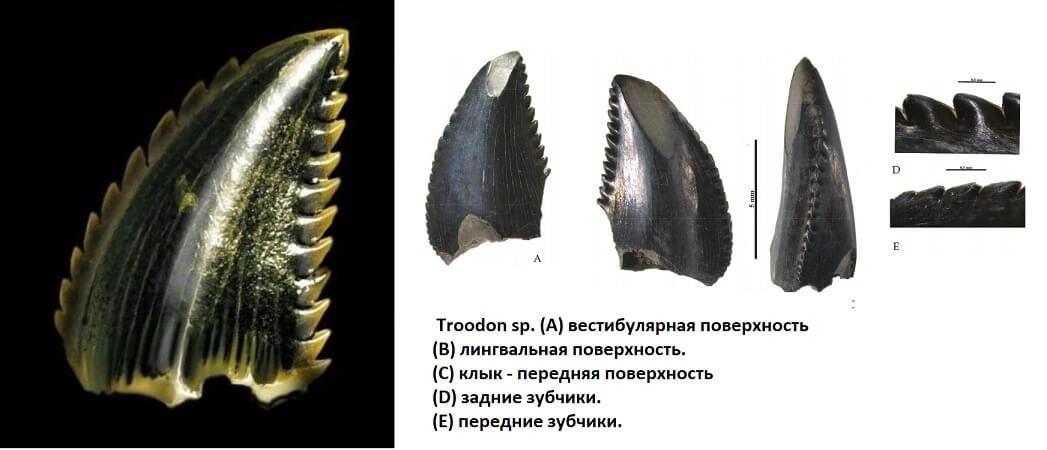 Зубы троодона