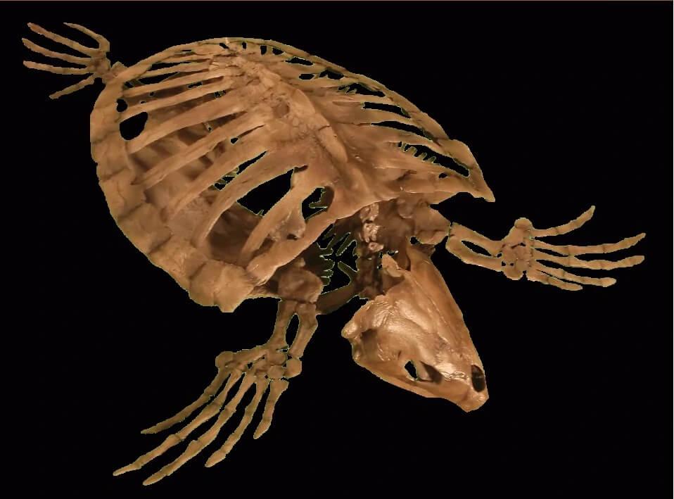 Строение скелета архелона